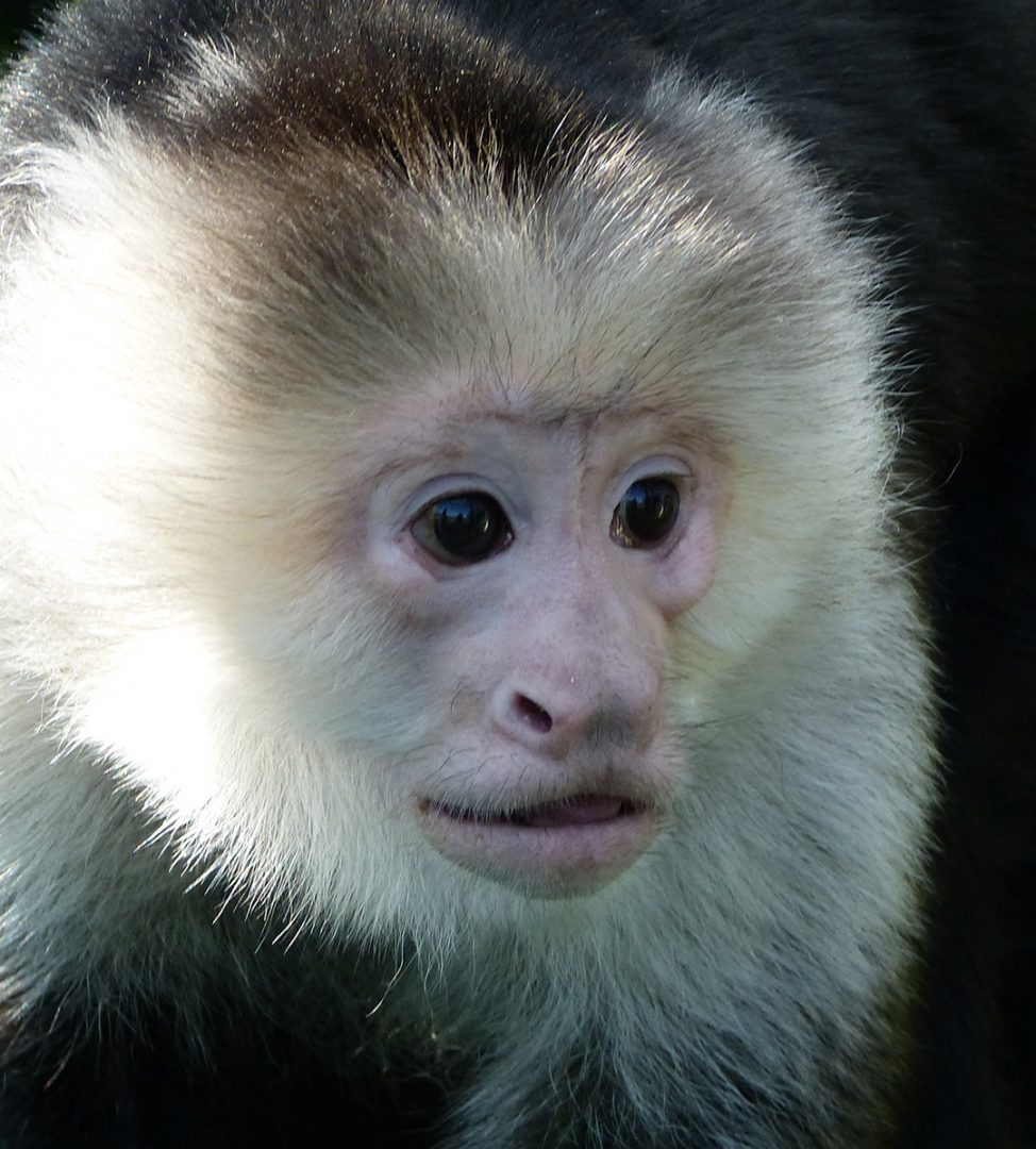 Pockets Warhol is a male capuchin who loves to paint.